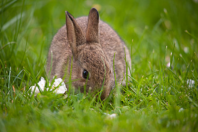 A baby rabbit eats grass in a garden. - p1433m1531933 by Wolf Kettler