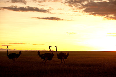National park Kenia - p5330304 by Böhm Monika