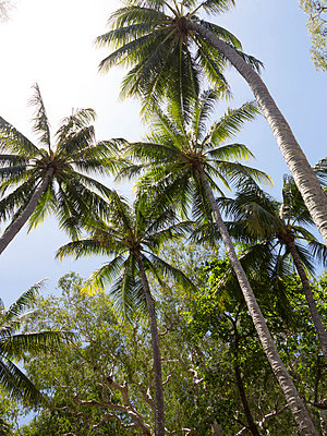 Palm trees on beach at Palm Cove, Cairns, North Queensland, Australia, Pacific - p871m807449 by Nick Servian