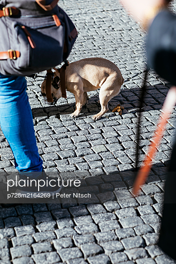 Dog pooping on the street - p728m2164269 by Peter Nitsch