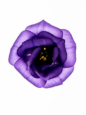 Lisianthus flower - p401m2291095 by Frank Baquet