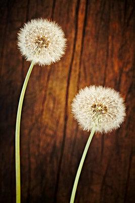Dandelion ball - p968m658870 by roberto pastrovicchio