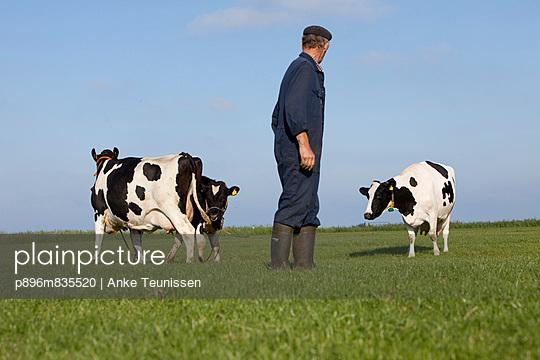 Bauer mit Rindern auf der Weide - p896m835520 von Anke Teunissen