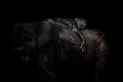Gorilla baby lying on mother's back in front of black background - p300m2030019 by Mark Johnson