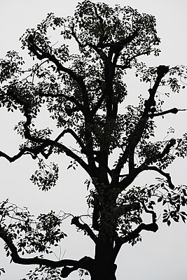 Silhouetted tree against overcast sky - p301m2213597 by Michael Mann