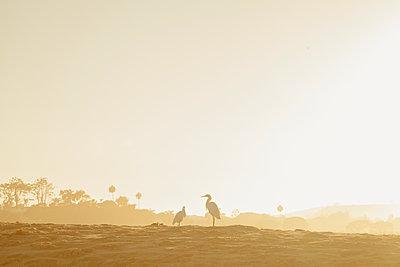 USA, California, Malibu, Silhouette of two birds perching on beach at sunset - p352m1186856 by Daniel Sahlberg