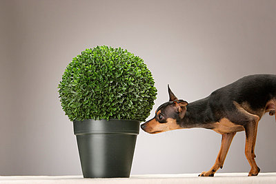 Dog with a boxwood - p4030217 by Helge Sauber