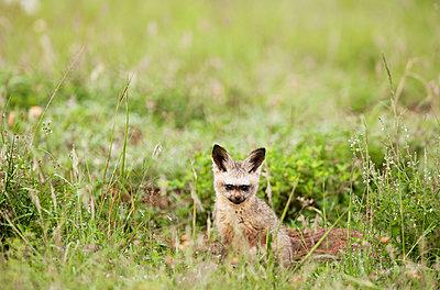 Bat-eared fox - p533m1134231 by Böhm Monika