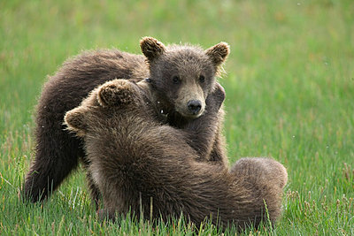 Grizzly Bear two yearling cubs play-fighting - p884m864570 by Matthias Breiter