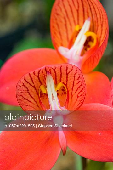 Rote Orchidee - p1057m2291505 von Stephen Shepherd