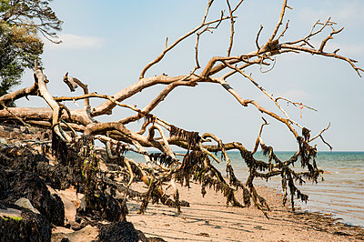Tree fallen on beach covered with seaweed - p1047m2022279 by Sally Mundy