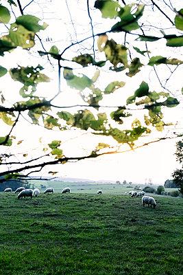 Schafe auf einer Weide  - p879m2210710 von nico