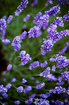 Lavender, close-up - p947m2193544 by Cristopher Civitillo