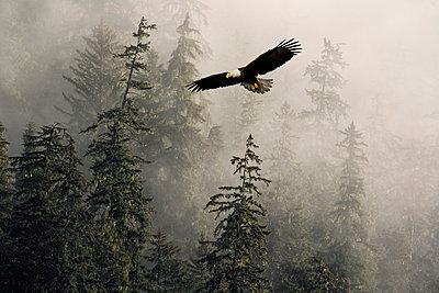 Bald Eagle Soaring In Flight Through Misty Tongass Nat Forest Se Alaska Summer Composite - p442m838251 by John Hyde