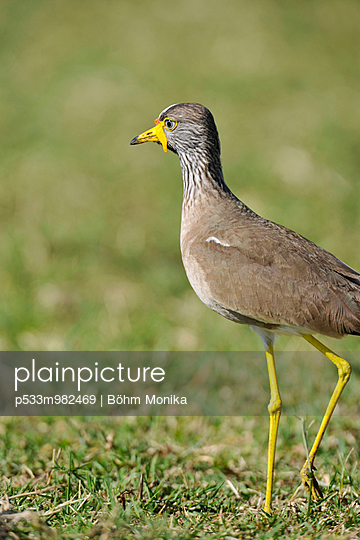 Savannenvogel - p533m982469 von Böhm Monika