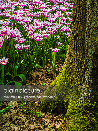 Pink tulips - p968m892032 by Roberto Pastrovicchio