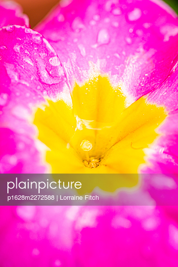 Pink flower with water droplets - p1628m2272588 by Lorraine Fitch