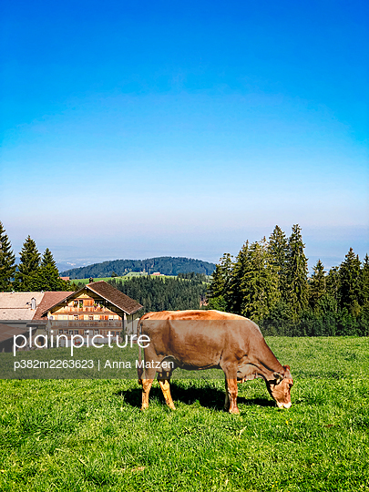 Grazing cow on a mountain pasture in the Alps - p382m2263623 by Anna Matzen