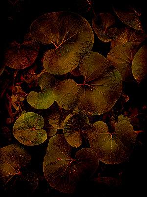 Winter heliotrope leaves (Petasites pyrenaicus) - p1028m2263942 by Jean Marmeisse