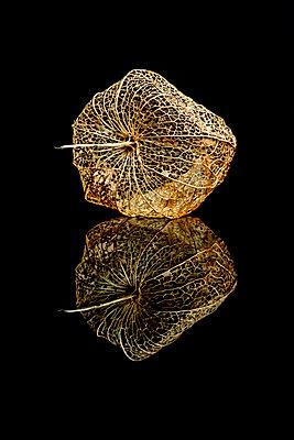 Physalis on a black reflective surface - p1302m2185009 by Richard Nixon