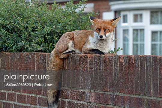 Red fox cub (Vulpes vulpes) on wall, Hampshire, England, UK, October. - p840m2269820 by Peter Lewis