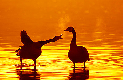 Two canadian geese standing in water at sunset one squawking at the other one;British columbia canada - p442m837614f by Thomas Kitchin & Victoria Hurst