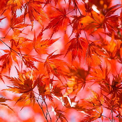 Red Japanese Maple Tree Leaves  - p694m2097220 by Lori Adams