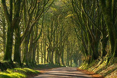 Morning light streaming through an avenue of beech trees near Bridestowe, Dartmoor, Devon, England, United Kingdom, Europe - p871m2209442 by Adam Burton