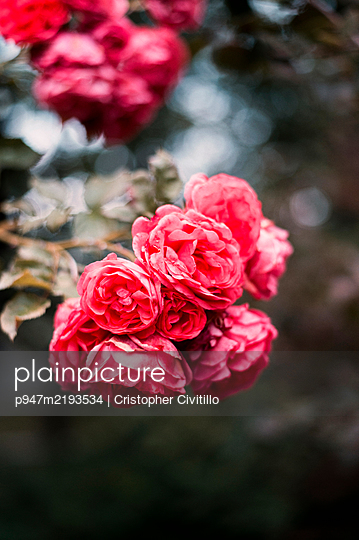 Red roses - p947m2193534 by Cristopher Civitillo