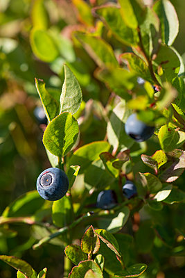 Wild blueberries in Lapland - p1216m2184527 by Céleste Manet