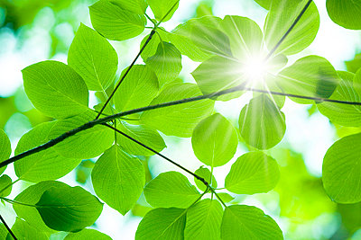 Leaves on branch and sunbeam - p5148438f by a.collectionRF