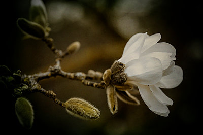White magnolia flower in bloom with bud - p1047m1007782 by Sally Mundy