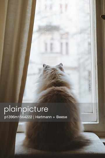 Katze am Fenster, Neva Masquarade - p1396m1564222 von Hartmann + Beese