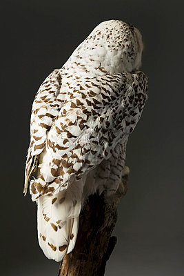 Owl - p994m853280 by Philip BERNARD