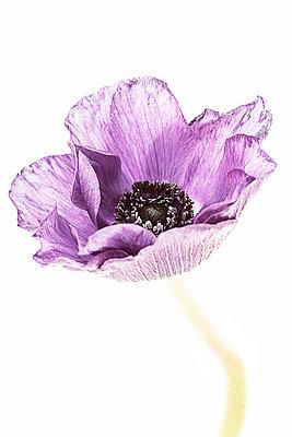 Portrait of a Purple Anenome - p1470m1539181 by julie davenport
