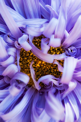 Close-up of Aster Starlight Lavender flower - p1047m1094355 by Sally Mundy