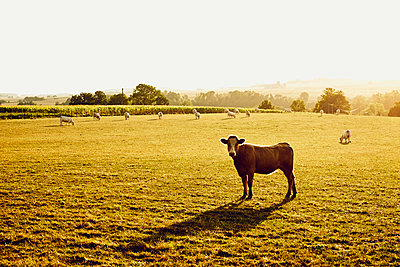 Pasture with cattle in the morning light - p1312m2284476 by Axel Killian