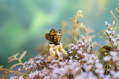 Dead butterfly on dried flowers - p388m877114 by Slaveng