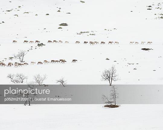 Reindeer in snowy field in Dalarna, Sweden - p352m2120267 by Gustaf Emanuelsson