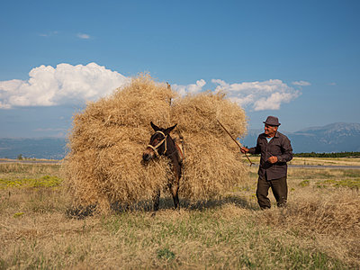 Peasant and donkey gathering hay together in a field - p390m2126683 by Frank Herfort