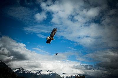 Adler in den Bergen von Alaska - p741m2168715 von Christof Mattes