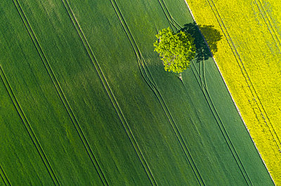 Germany, Mecklenburg-WesternPomerania, Aerial view of lone tree growing in vast wheat field in spring - p300m2144381 by Martin Rügner