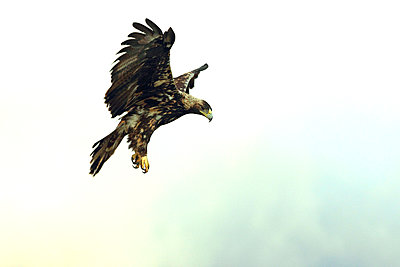 Five years old female of Spanish imperial eagle flying - p1166m2153597 by Cavan Images