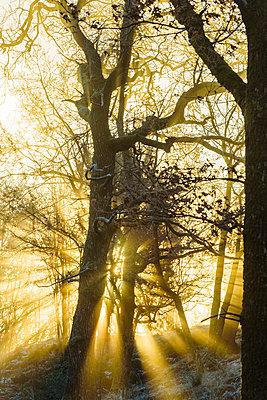Sunlight shining through trees - p312m1471801 by Mikael Svensson