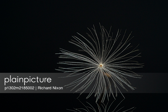 Dandelion seed on a black reflective surface - p1302m2185002 by Richard Nixon