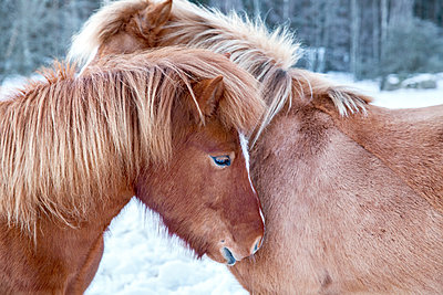 Horses together - p312m1139648 by Sara Winsnes