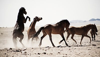 Horses kicking in dusty field - p429m1148916 by Led photography