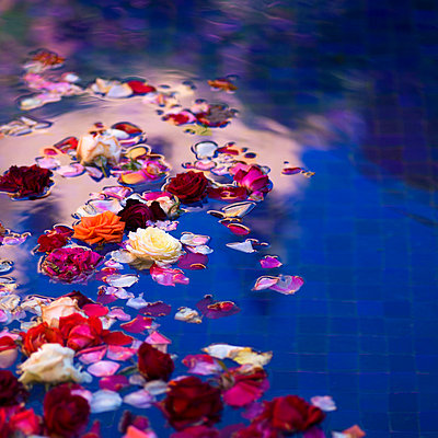 Floating roses and petals in a pool with blue tile - p442m837789f by Keith Levit