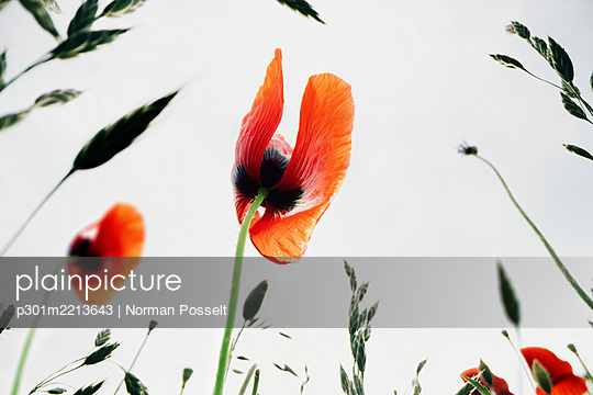 Close up red poppy - p301m2213643 by Norman Posselt