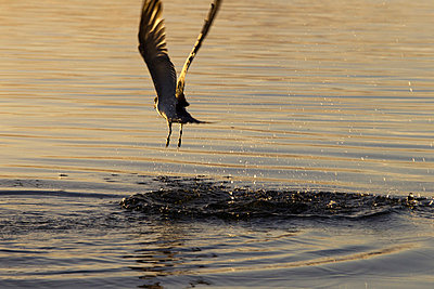 Seabird Flying Over Water  - p1014m745771 by Jeff Hornbaker
